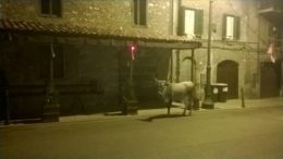 Mucca selvatica Carpineto Romano